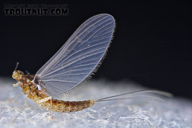 Female Baetidae (Blue-Winged Olives) Mayfly Dun from the West Branch of Owego Creek in New York
