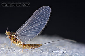 Female Baetidae (Blue-Winged Olives) Mayfly Dun