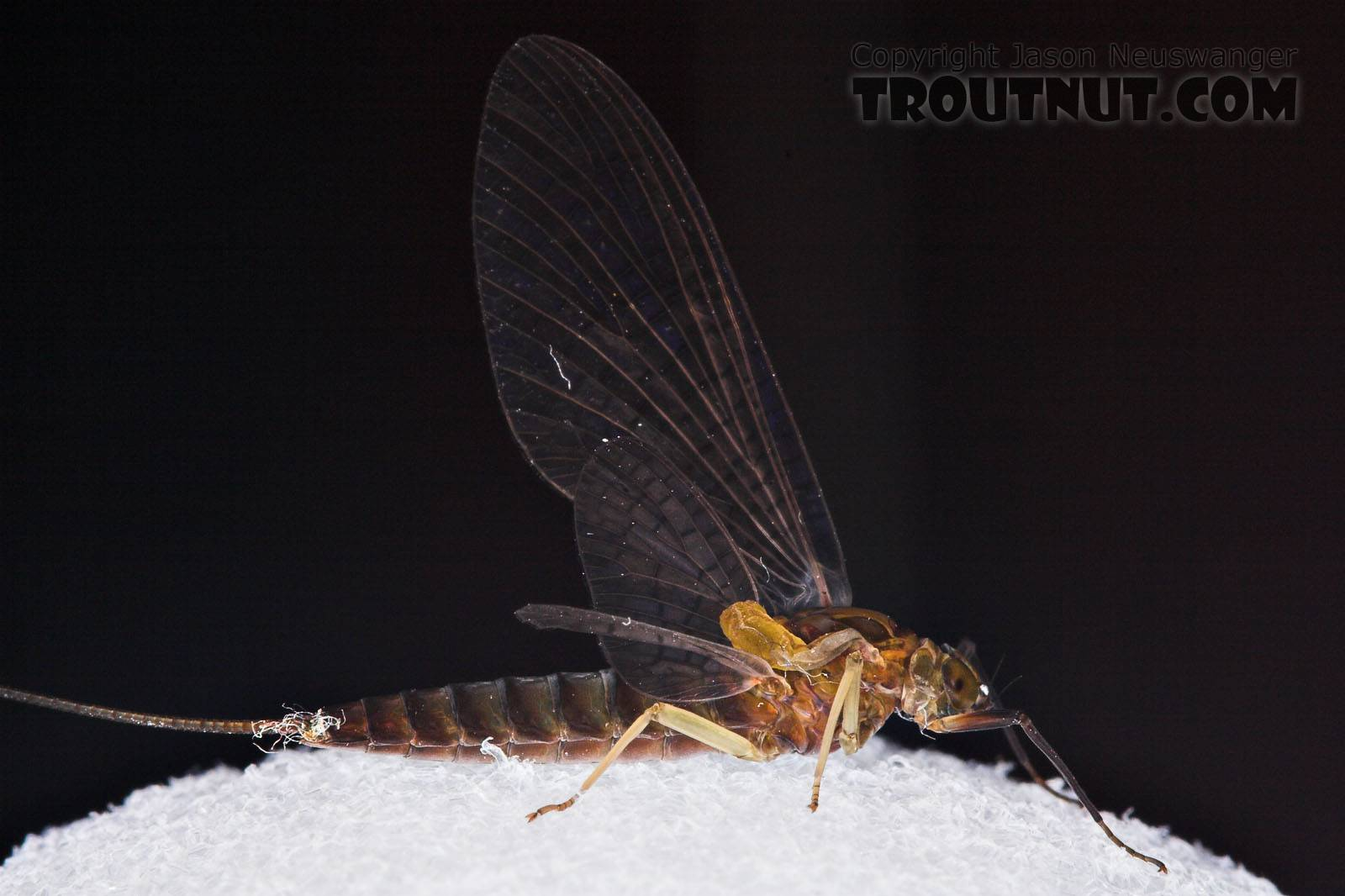 Female Isonychia bicolor (Mahogany Dun) Mayfly Dun from the West Branch of Owego Creek in New York