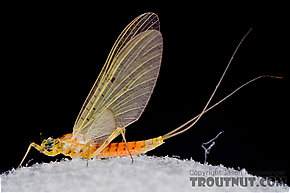 Female Stenacron interpunctatum (Light Cahill) Mayfly Dun