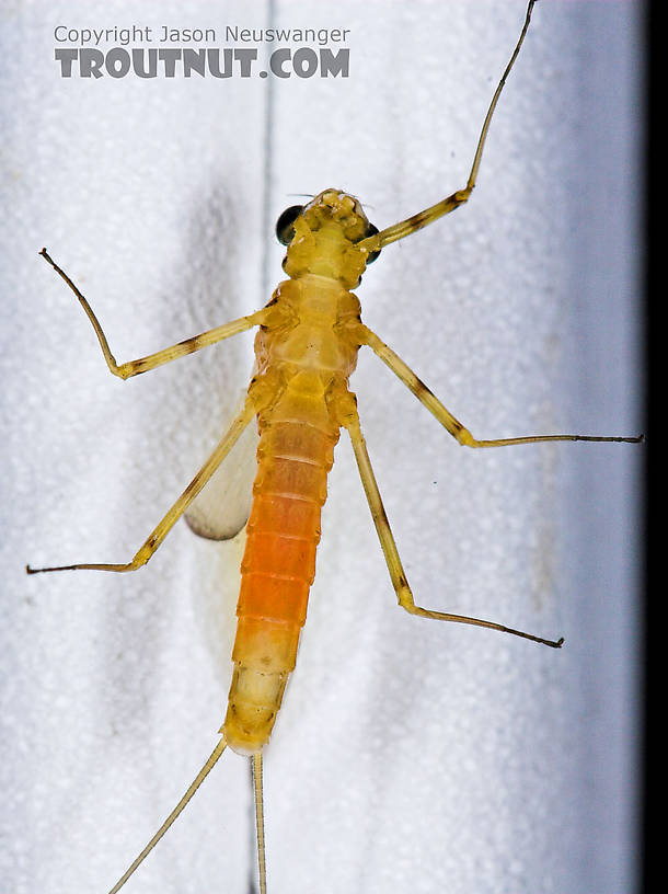 Female Stenacron interpunctatum (Light Cahill) Mayfly Dun from the West Branch of Owego Creek in New York