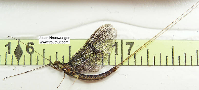 Male Ephemera simulans (Brown Drake) Mayfly Spinner from unknown in Wisconsin