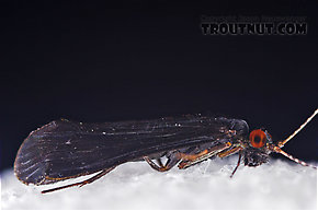 Male Mystacides sepulchralis (Black Dancer) Caddisfly Adult