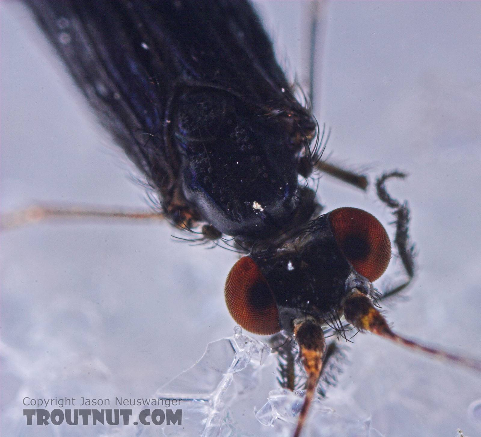 Male Mystacides sepulchralis (Black Dancer) Caddisfly Adult from the West Branch of Owego Creek in New York