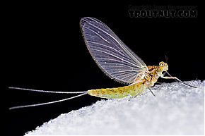 Procloeon (Tiny Sulphur Duns) Mayfly Dun