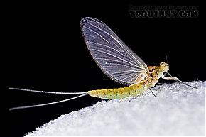 Female Procloeon (Tiny Sulphur Duns) Mayfly Dun