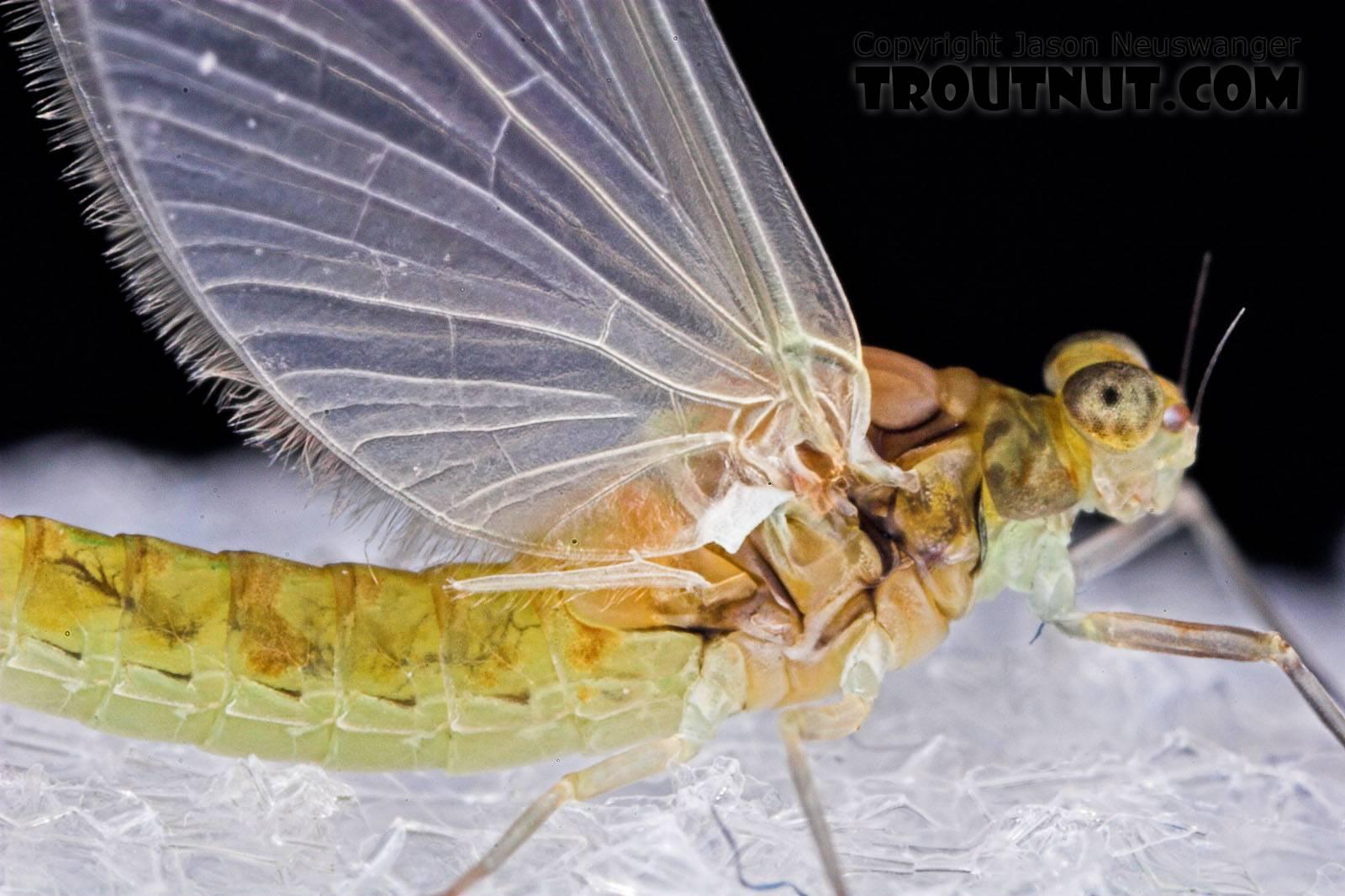Female Procloeon (Tiny Sulphur Duns) Mayfly Dun from Enfield Creek in New York