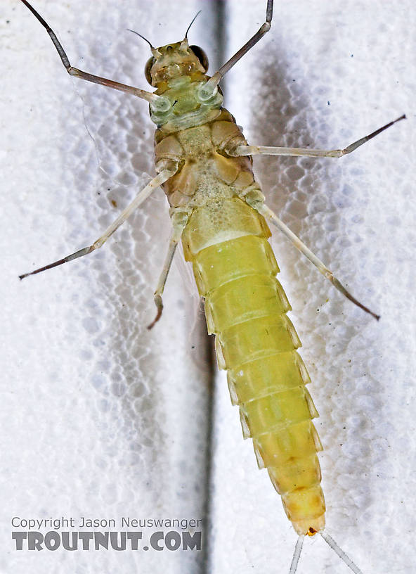 Female Procloeon (Tiny Sulphur Duns) Mayfly Dun from Enfield Creek in New York