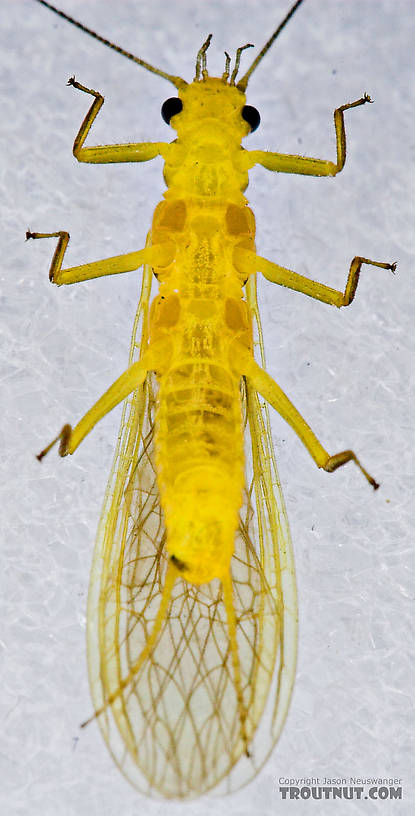 Female Perlesta (Golden Stones) Stonefly Adult from Enfield Creek in New York