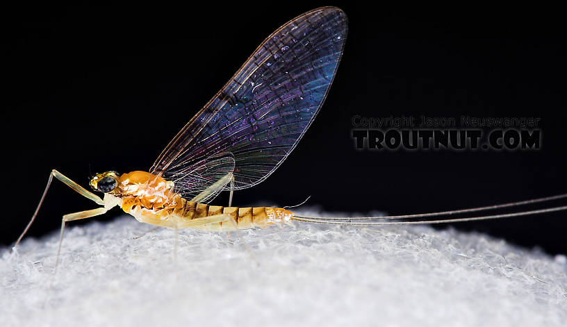 Female Leucrocuta hebe (Little Yellow Quill) Mayfly Spinner from Willowemoc Creek in New York
