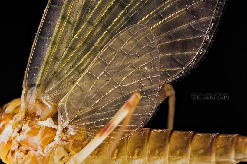 Female Maccaffertium (March Browns and Cahills) Mayfly Dun from the Neversink River in New York
