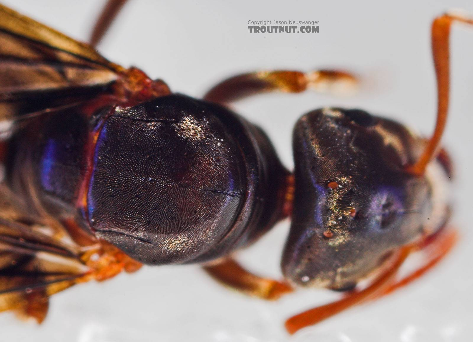 Formicidae (Ants) Ant Adult from the Neversink River in New York