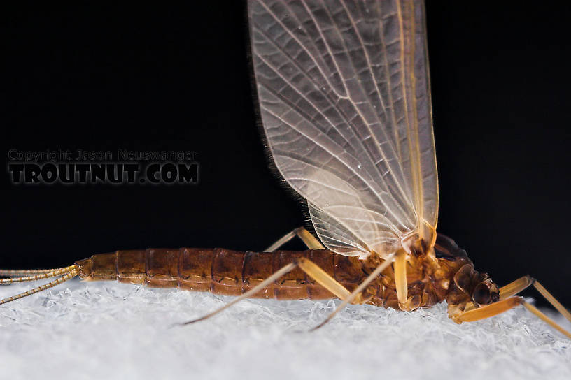 Female Paraleptophlebia (Blue Quills and Mahogany Duns) Mayfly Dun from the Neversink River in New York