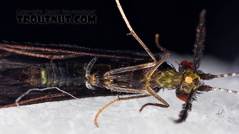 Caddisflies can be much more colorful than we'd ever expect, under the right lighting!  Mystacides sepulchralis (Black Dancer) Caddisfly Adult from the Neversink River in New York