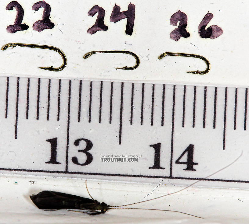 Mystacides sepulchralis (Black Dancer) Caddisfly Adult from the Neversink River in New York