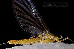 Female Epeorus frisoni  Mayfly Spinner