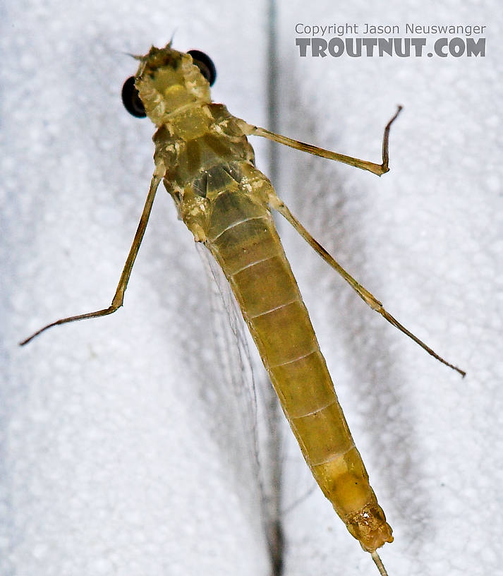 Female Epeorus frisoni Mayfly Spinner from Mystery Creek #23 in New York