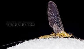 Epeorus frisoni  Mayfly Dun