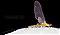 Male Epeorus frisoni  Mayfly Dun