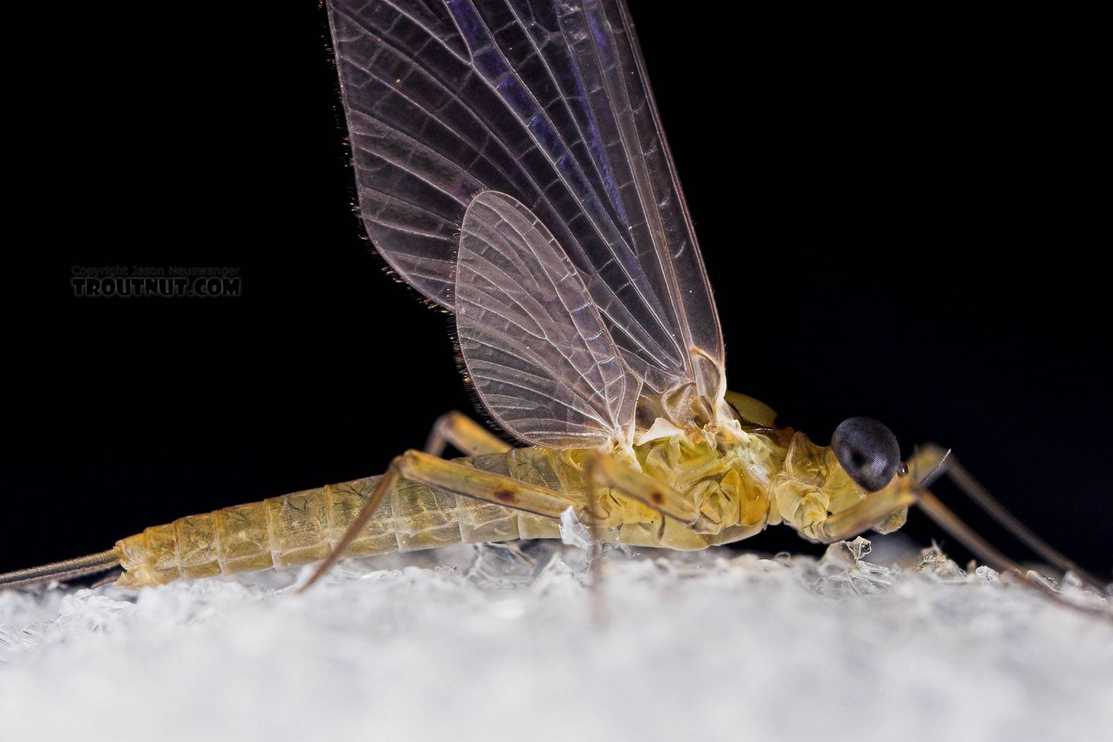 Male Epeorus frisoni Mayfly Dun from Mystery Creek #23 in New York