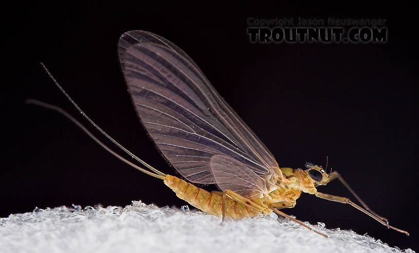 Female Epeorus frisoni Mayfly Dun from Mystery Creek #23 in New York