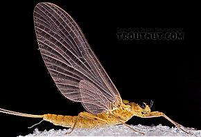 Female Epeorus frisoni  Mayfly Dun