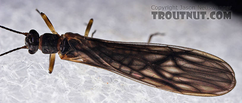 Female Amphinemura (Tiny Winter Blacks) Stonefly Adult from Mystery Creek #23 in New York