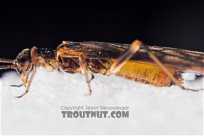 Female Amphinemura (Tiny Winter Blacks) Stonefly Adult