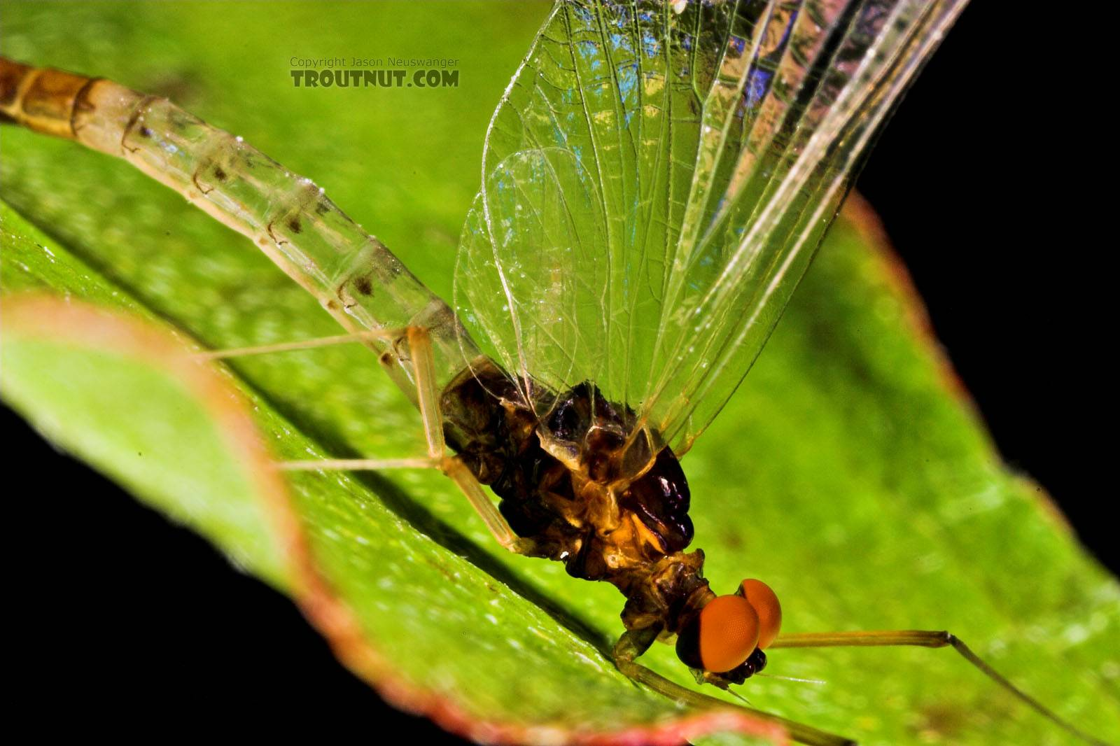 Male Paraleptophlebia (Blue Quills and Mahogany Duns) Mayfly Spinner from the East Branch of the Delaware River in New York