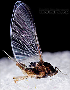 Female Tricorythodes (Tricos) Mayfly Spinner