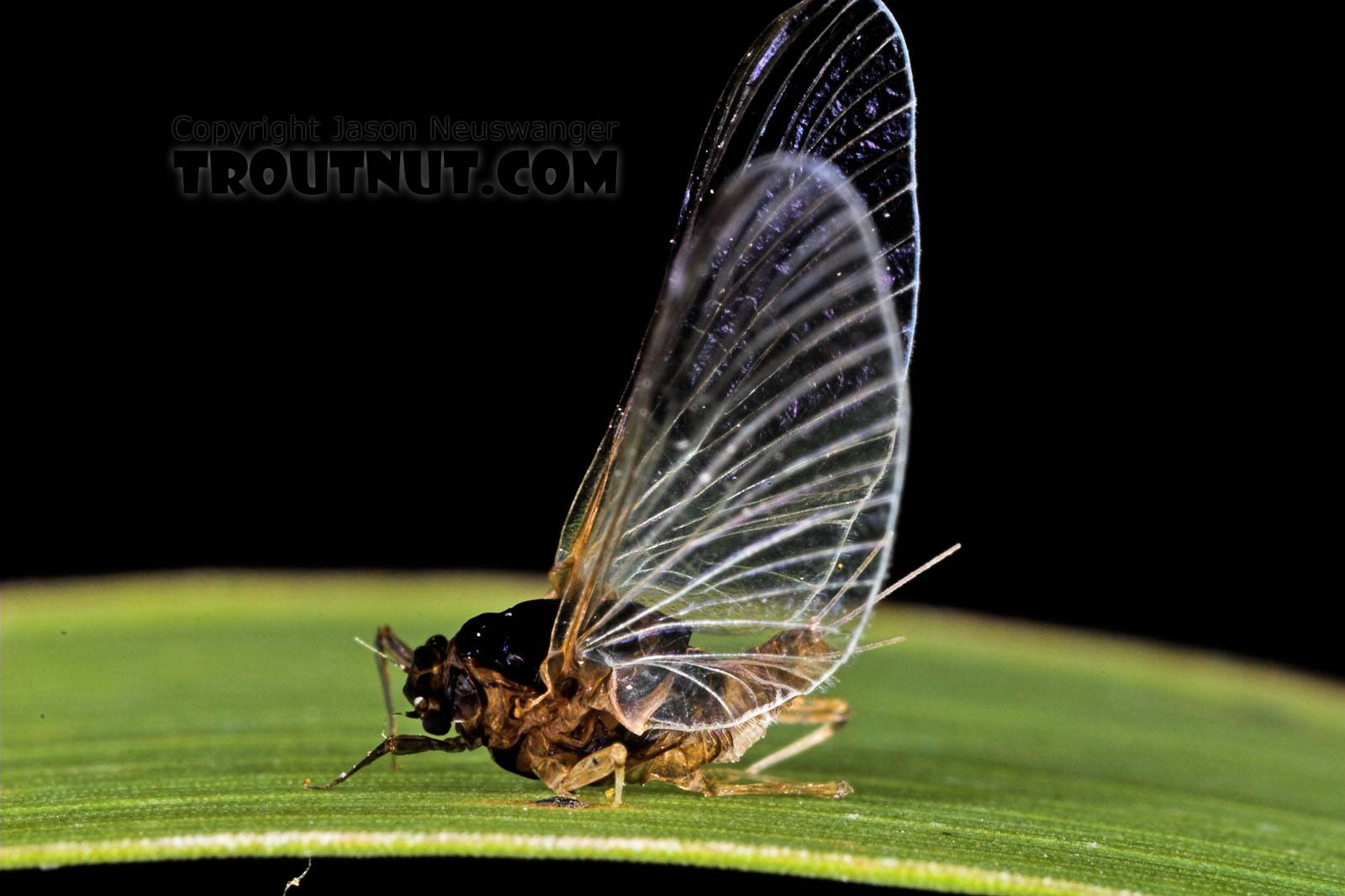 Female Tricorythodes (Tricos) Mayfly Spinner from the Neversink River in New York