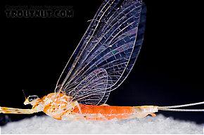 Female Epeorus vitreus (Sulphur) Mayfly Spinner