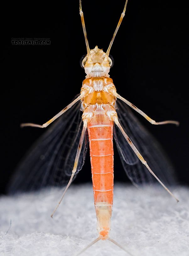 Female Epeorus vitreus (Sulphur) Mayfly Spinner from Mystery Creek #43 in New York