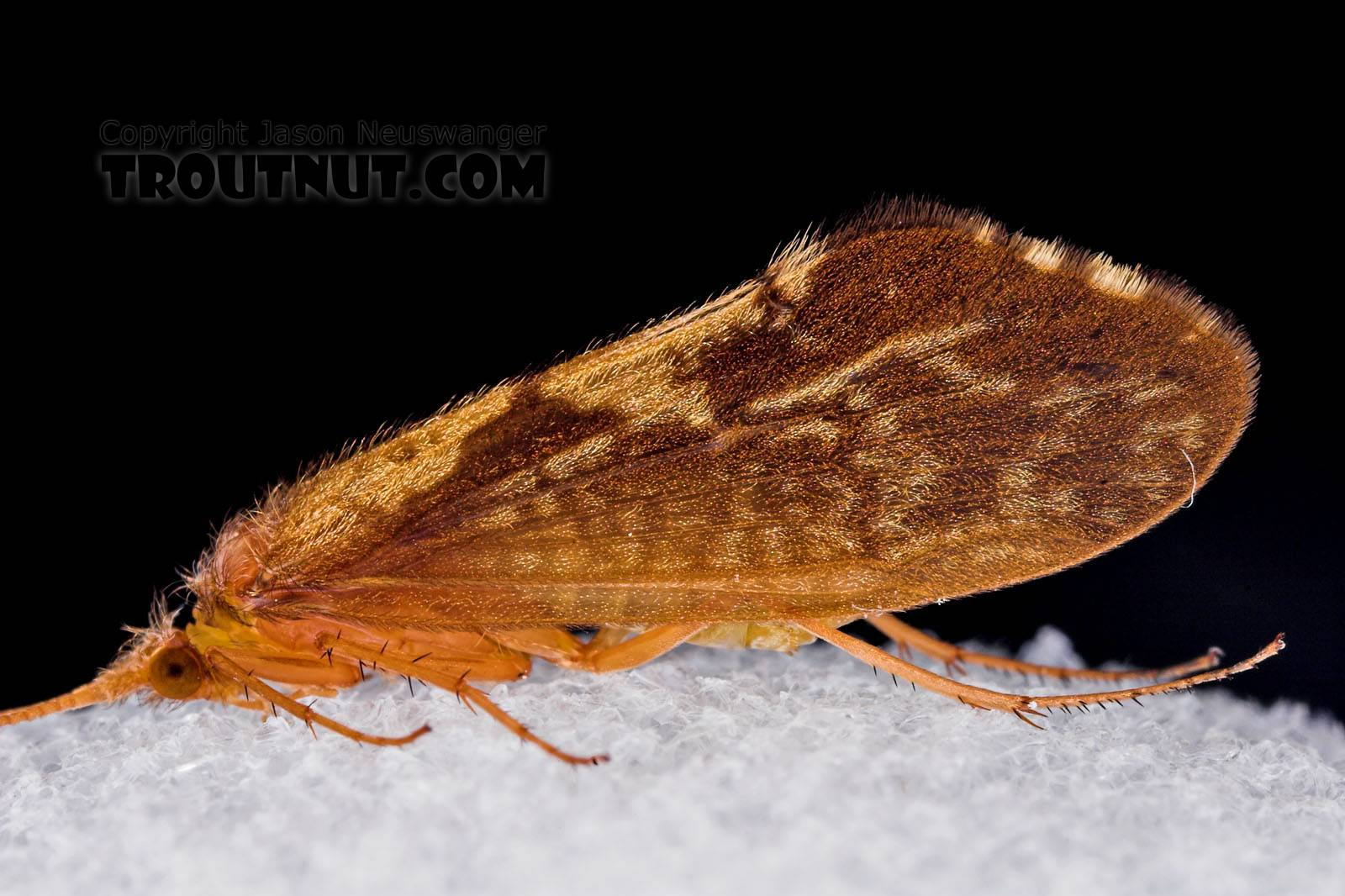 Neophylax (Autumn Mottled Sedges) Caddisfly Adult from Mystery Creek #43 in New York
