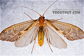 Neophylax (Autumn Mottled Sedges) Caddisfly Adult