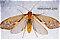 Neophylax (Autumn Mottled Sedges) Caddisfly Adult
