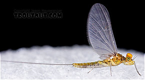Male Baetis (Blue-Winged Olives) Mayfly Dun from Mystery Creek #43 in New York