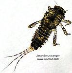 Ephemerella invaria (Sulphur Dun) Mayfly Nymph