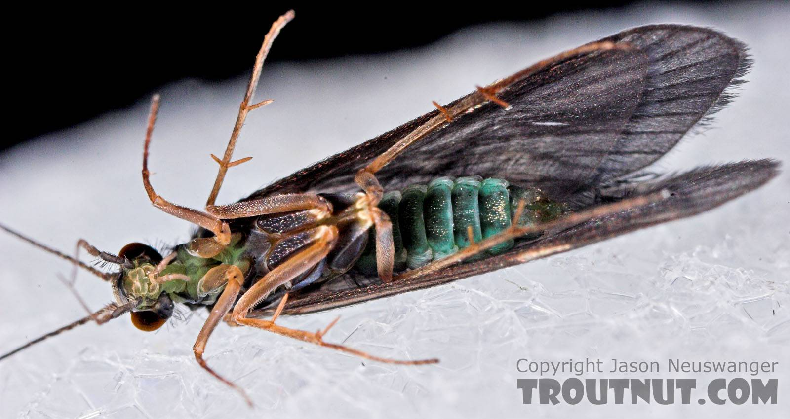 Cheumatopsyche (Little Sister Sedges) Caddisfly Adult from Mystery Creek #43 in New York