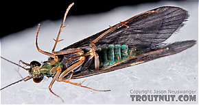 Cheumatopsyche (Little Sister Sedges) Caddisfly Adult