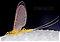 Female Leucrocuta hebe (Little Yellow Quill) Mayfly Dun