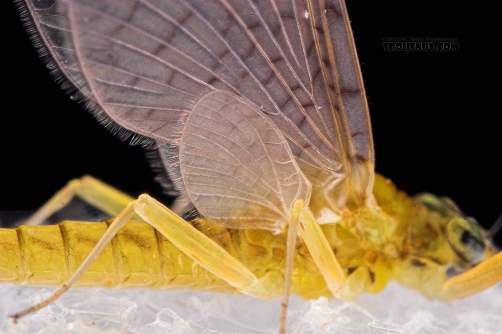 Female Leucrocuta hebe (Little Yellow Quill) Mayfly Dun from Mystery Creek #43 in New York