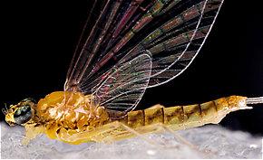 Female Leucrocuta hebe (Little Yellow Quill) Mayfly Spinner