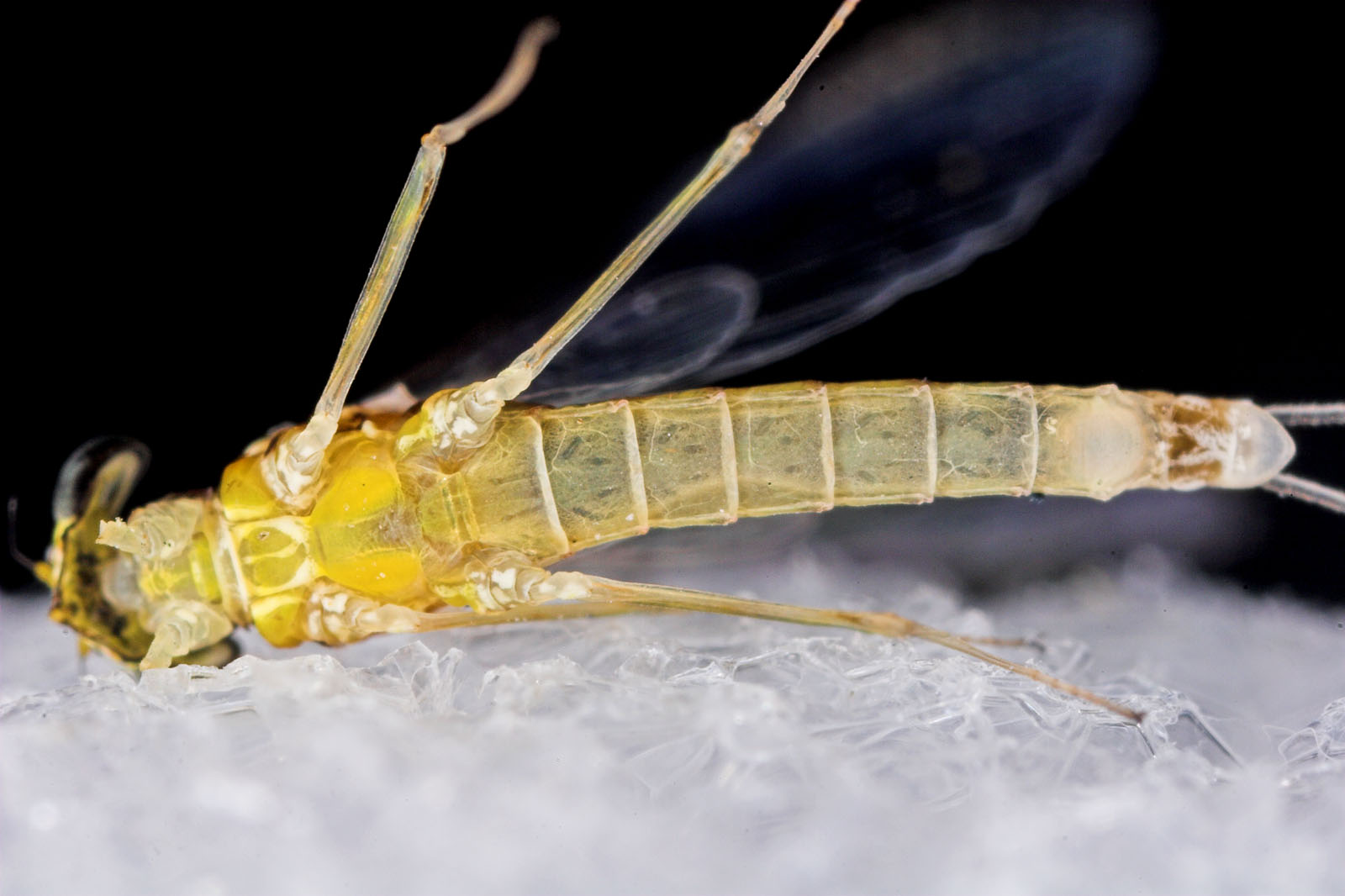 Female Leucrocuta hebe (Little Yellow Quill) Mayfly Spinner from Mystery Creek #43 in New York