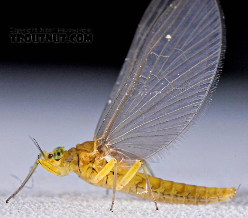 Female Baetis (Blue-Winged Olives) Mayfly Dun from Mystery Creek #43 in New York