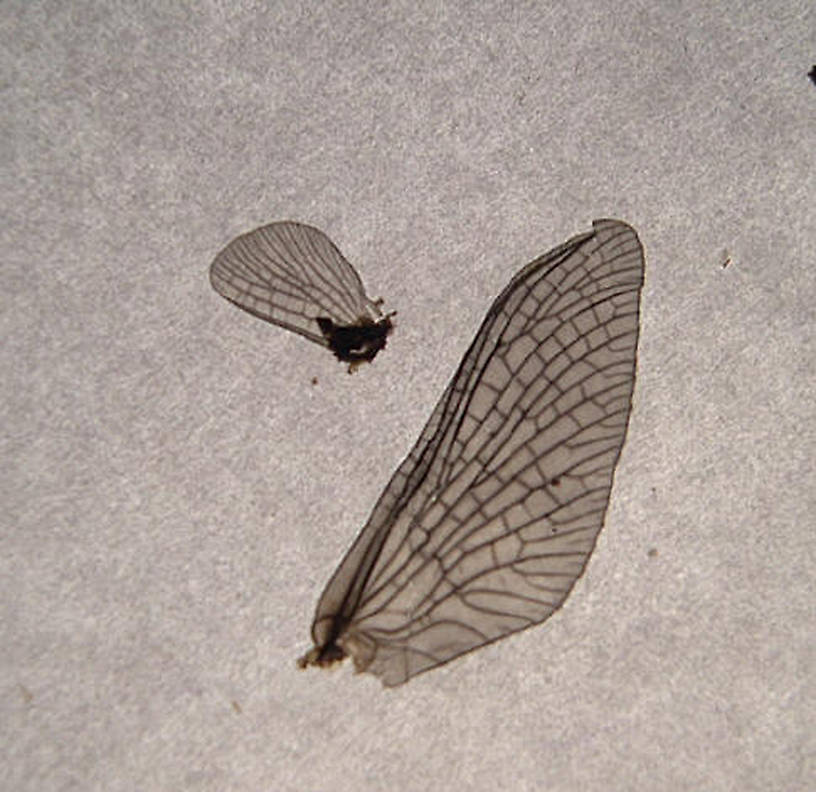 Dun's wings after death.  Photo by Caleb Boyle.  Neoephemera Mayfly Nymph from unknown in North Carolina