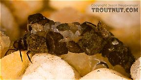 Neophylax (Autumn Mottled Sedges) Caddisfly Larva