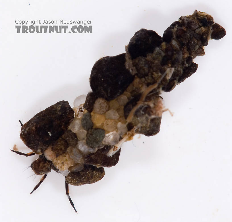 Neophylax (Autumn Mottled Sedges) Caddisfly Larva from Fall Creek in New York