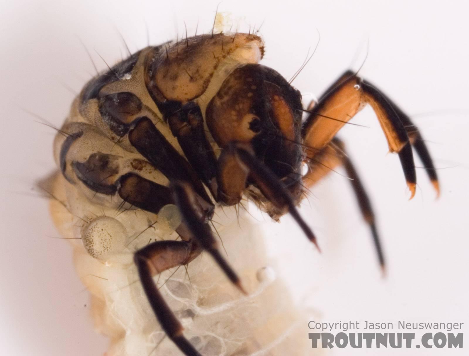Neophylax (Autumn Mottled Sedges) Caddisfly Larva from Fall Creek in New York