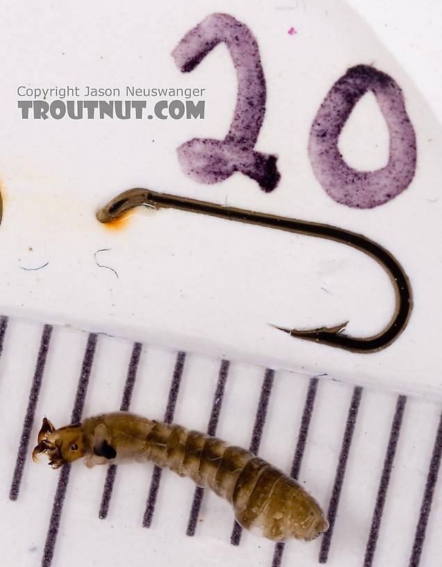 Simuliidae (Black Flies) Black Fly Larva from Fall Creek in New York